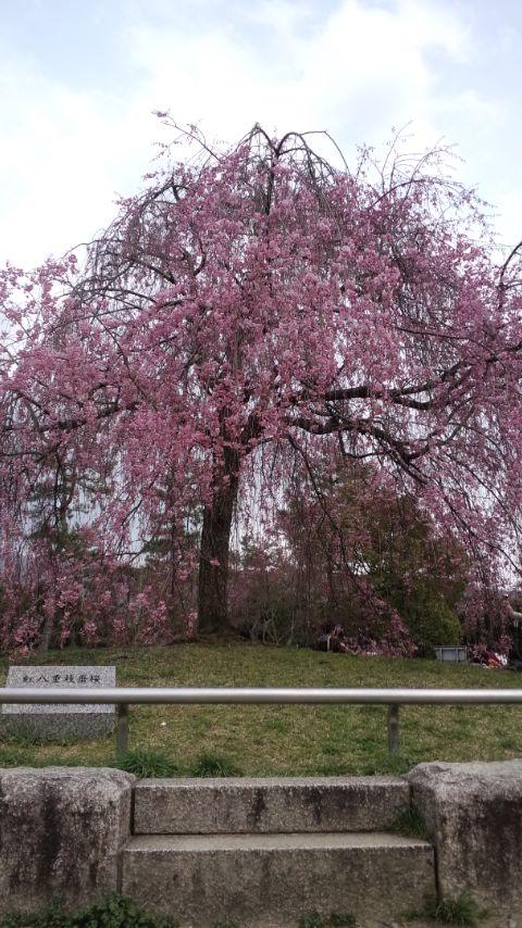 【スタッフブログ】京都の桜